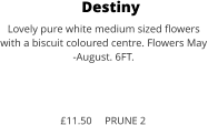 Destiny Lovely pure white medium sized flowers with a biscuit coloured centre. Flowers May -August. 6FT.    £11.50     PRUNE 2