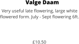 Valge Daam Very useful late flowering, large white  flowered form. July - Sept flowering 6ft.    £10.50